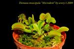 Dionaea muscipula Microdent 3