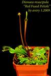 Dionaea muscipula Red Fused Petiole