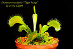 Dionaea muscipula Tiger Fangs 3