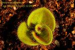 Drosera erythrorhiza ssp Magna
