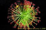 Drosera aff lanata 2