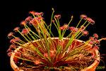 Drosera aff petiolaris