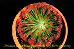 Drosera fulva Planchon miniature form 3