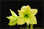 DSC_1058_nEO_IMG Hippeastrum Lemon Lime