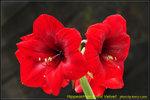 DSC_1674_nEO_IMG Hippeastrum Royal Velvet