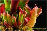 DSC_4517_nEO_IMG Heliamphora pulchella