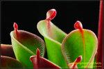 DSC_4520_nEO_IMG Heliamphora pulchella