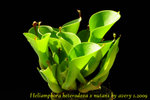 Heliamphora heterodoxa x nutans 2