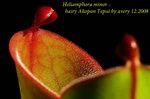 Heliamphora minor hairy Akopan Tepui 3