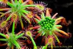 dichrosepala mature gemmae 1