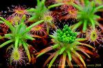 dichrosepala mature gemmae 2