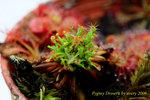 germinated gemmae on plant