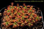 paleacea ssp stelliflora