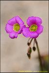 DSC_9585_nEO_IMG Oxalis latifolia