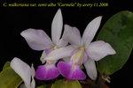 C. walkeriana var. semi-alba Carmela 2
