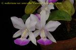 C. walkeriana var. semi-alba Carmela 3