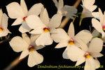 Dendrobium fytchianum  1