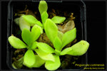 DSC_4564_nEO_IMG Pinguicula colimensis