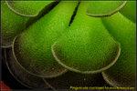 DSC_3378_nEO_IMG Pinguicula cyclosecta
