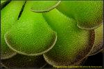 DSC_3379_nEO_IMG Pinguicula cyclosecta