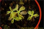 DSC_3417_nEO_IMG Pinguicula mesophytica