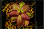 DSC_5446_nEO_IMG Pinguicula potosiensis Clone 34L Red Leaf