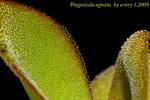 Pinguicula agnata 2