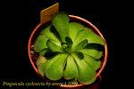 Pinguicula cyclosecta 1