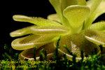 Pinguicula ehlersiae grown by Noel 1