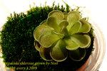 Pinguicula ehlersiae grown by Noel 2