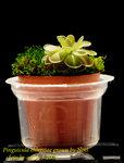 Pinguicula ehlersiae grown by Noel 3
