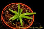 Pinguicula gypsicola 1