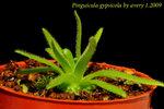 Pinguicula gypsicola 2