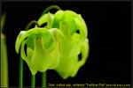 DSC_2412_nEO_IMG Sarr. rubra ssp. wherryi Yellow Flw