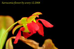 Sarracenia flower