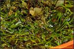 DSC_4238_nEO_IMG Utricularia adpressa