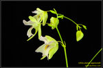 DSC_5419_nEO_IMG Utricularia asplundii
