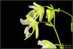 DSC_5421_nEO_IMG Utricularia asplundii