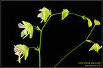 DSC_5424_nEO_IMG Utricularia asplundii