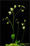 DSC_5426_nEO_IMG Utricularia asplundii
