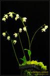 DSC_5675_nEO_IMG Utricularia asplundii