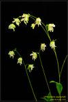 DSC_5676_nEO_IMG Utricularia asplundii