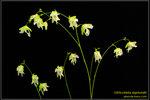 DSC_5677_nEO_IMG Utricularia asplundii