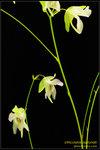 DSC_5681_nEO_IMG Utricularia asplundii
