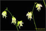 DSC_5682_nEO_IMG Utricularia asplundii