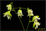 DSC_5683_nEO_IMG Utricularia asplundii