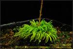 DSC_4232_nEO_IMG Utricularia longeciliata