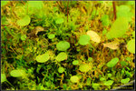 DSC_5579_nEO_IMG Utricularia nephrophylla - white flower