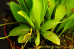 Utricularia alpina 3