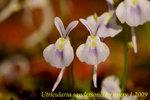Utricularia sandersonii 2